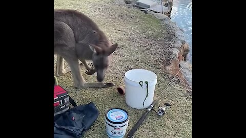 Peaceful fishing trip completely interrupted by prying kangaroo