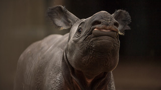 Tiny Rhino Calf Takes First Steps at UK Zoo - Video
