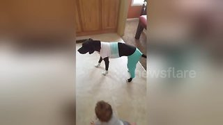 Dog walks around home with baby clothes on - Video