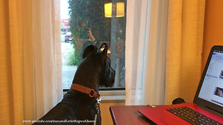 Nosy Great Dane looks out hotel room window