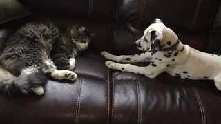 Energetic Puppy Just Wants to Play With Sleepy Cat - Video