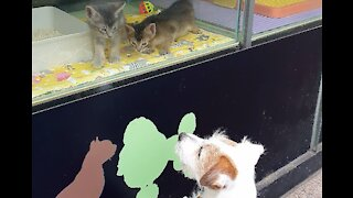 Jack Russell sad to see kittens on display in store window