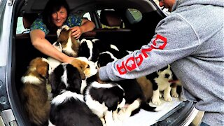 Puppies entirely fill the back of a car after their first veterinary checkup
