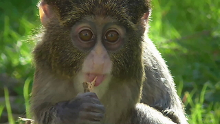 Cute Baby De Brazza Monkey - Video