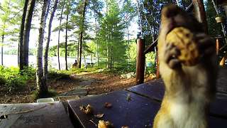 Chipmunk will do anything to be on camera - Video