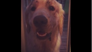 What happens when you leave a Golden Retriever unsupervised? - Video