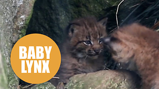 Two adorable Eurasian lynx cubs born at Newquay Zoo - Video