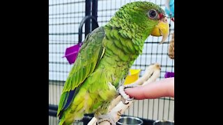 Parrot knows how to fist-bump and hold hands