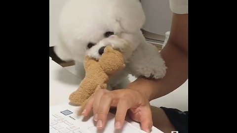 Poodle desperately wants owner to play with him