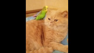 Parrot treats cat like his own personal playground