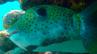 Funny-looking puffer fish fascinated by diver's camera - Video