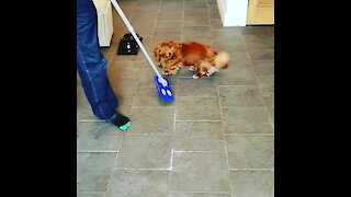 Playful pup confuses new mop for personal play toy