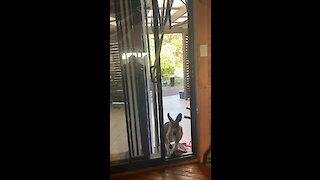 Kangaroo breaks into house and steals an apple