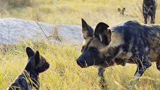 Robotic Spy Puppy Meets Wild Dogs