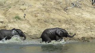 Adorable baby elephants play their hearts out in the water - Video
