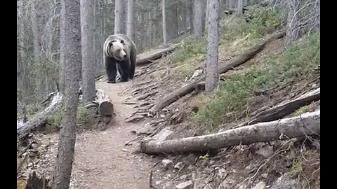 Scary moment shows hikers encountering a massive grizzly bear