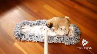 Tiny Pug Helps Her Owner With The Chores - Video