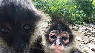 Inquisitive baby monkey licks and nibbles camera - Video