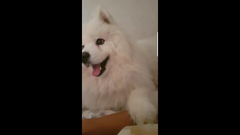 Samoyed growls when he doesn't get enough attention