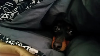 Missing Dachshund Dog Found Burrowed In Blankets  - Video