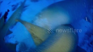 Amazing close encounter with nurse sharks off Maldives - Video