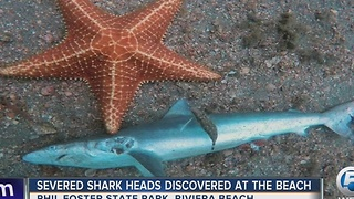 Severed shark heads discovered at the beach - Video