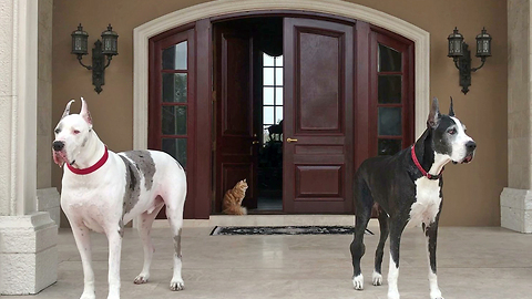 Funny Great Danes and Cat Try to Decide Inside or Outside or Inside