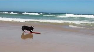 French Bulldog is a skimboarding champion! - Video