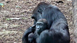 Gorilla mother & baby enjoy heartwarming cuddle time under tree