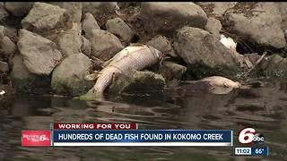 Hundreds of dead fish found in Kokomo creek - Video