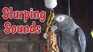 Impolite parrot makes slurping sounds