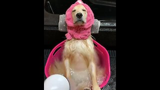 Golden Retriever relaxes while taking cold shower