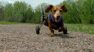 dog gets new legs - Video