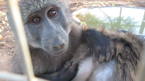 Adorable rescued baby baboons groom each other