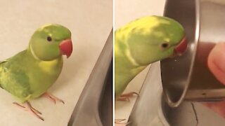 Silly parrot loves to distract owner by playing adorable games