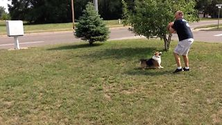 Corgi Makes An Epic Football Tackle - Video