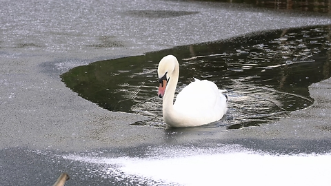 Swan Acts As Icebreaker For Ducks To Swim Through Frozen Lake