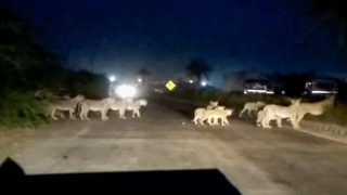 Lion pride stops traffic to heart-warmingly cross a busy highway - Video