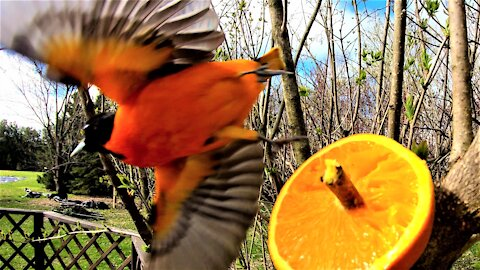 The vividly colored oriole loves his orange treats