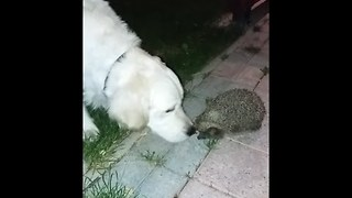 Dog Has Funny Reaction to Meeting His First Hedgehog - Video