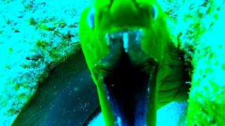 Monstrous moray eel displays impressive teeth - Video