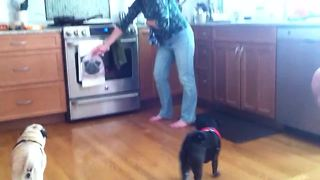 Pugs very skeptical of new 'pug' dish towel - Video