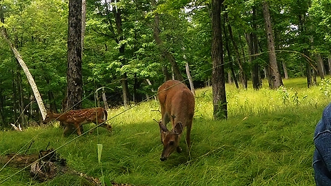 Does and fawns come to investigate man crunching an apple