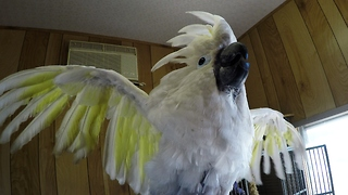 Curious cockatoo greets people with French accent - Video