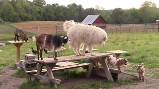 Farm dog plays follow the leader with baby goats - Video