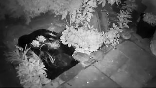Don't hog the camera! Hedgehog takes a dip - Video