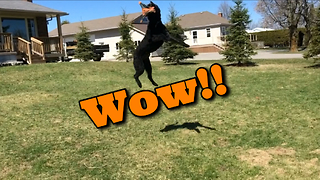 George the Labradoodle's incredible jumping ability - Video