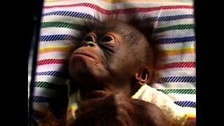 Cute Tiny Baby Orangutan - Video