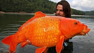 World's Largest Goldfish - Video