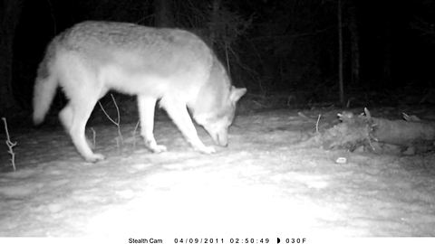Pair of Algonquin wolves caught on security cam